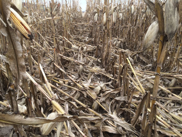 High winds in the western Midwest caused some corn stalk breakage and ear loss. (DTN photo by Russ Quinn)